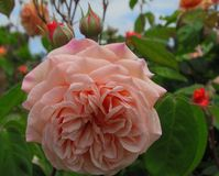 Schitterende Roze Rose Flowers-bloesem in Koningin Elizabeth Park Garden stock fotografie