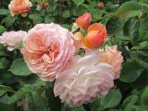 Schitterende Roze Rose Flowers-bloesem in Koningin Elizabeth Park Garden stock foto's