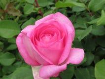 Schitterende Roze Rose Flowers-bloesem in Koningin Elizabeth Park Garden royalty-vrije stock foto