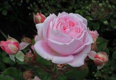 Schitterende Roze Rose Flowers-bloesem in Koningin Elizabeth Park Garden royalty-vrije stock afbeelding