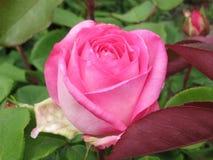 Schitterende Roze Rose Flowers-bloesem in Koningin Elizabeth Park Garden royalty-vrije stock foto's