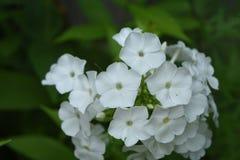 Schitterende Witte Bloeiende Floxbloemen in een Tuin royalty-vrije stock afbeelding