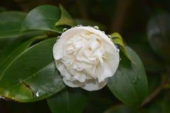 Schitterende Witte Camellia Flower Blossom met Regendalingen stock fotografie