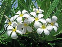 Schitterende witte Plumeria Stock Foto