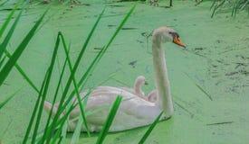 Schitterende witte zwanen in een meer Royalty-vrije Stock Afbeelding