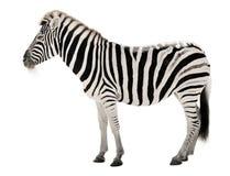 Schitterende zebra op witte achtergrond Stock Foto