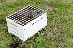 Schiuma di stirolo della scuola materna alle piante emergenti Immagine Stock