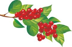 Schizandra-Beeren stockfotografie