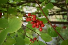 Schizandra chinensis vine with ripe fruits stock photos