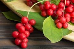 Schizandra cinese - bacche mature rosse Immagine Stock