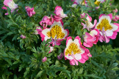 Schizanthus flower in bloom. In spring Royalty Free Stock Photos
