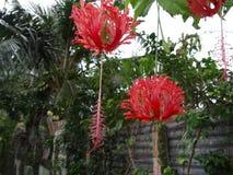 Schizopetalus do hibiscus imagem de stock royalty free