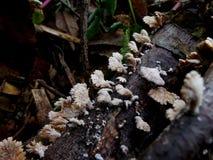 Schizophyllum commune. stock image