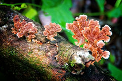 Schizophyllum commune Royalty Free Stock Photography