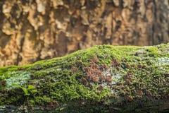 Schizophyllum Commune Mushroom on mosses background. Stock Images
