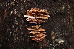 Schizophyllum kommunchampinjon på träd Arkivfoton