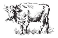 Schizzi delle mucche disegnate a mano Fotografia Stock