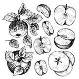 Schizzi e mele delle incisioni, ramo e foglie Immagini Stock