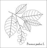 Schizzo in bianco e nero di un ramo della ciliegia, dei frutti e delle foglie Fotografia Stock