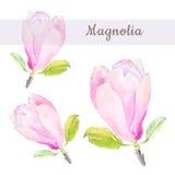 Schizzo botanico dell'illustrazione dell'acquerello del fiore rosa tenero della magnolia con testo su fondo bianco Immagine Stock