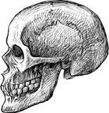 Schizzo del cranio umano Fotografia Stock