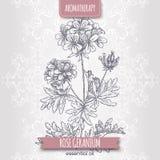 Schizzo del geranio rosa di pelargonium graveolens aka sul fondo elegante del pizzo Immagini Stock