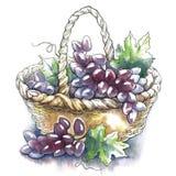 Schizzo dell'acquerello di vettore dell'uva Immagini Stock Libere da Diritti