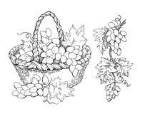 Schizzo dell'acquerello di vettore dell'uva Immagine Stock