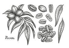 Schizzo dell'inchiostro del pecan illustrazione di stock