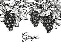 Schizzo dell'inchiostro dell'uva Fotografia Stock