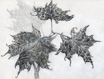 Schizzo della matita delle foglie di acero Fotografia Stock