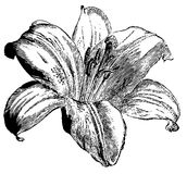 Schizzo dettagliato di un giglio del fiore Fotografie Stock
