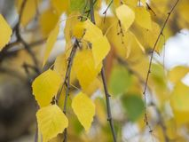 Schizzo di autunno con le foglie gialle fotografia stock