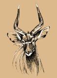 Ritratto del Nyala Fotografie Stock Libere da Diritti