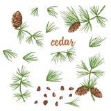 Schizzo fissato dell'inchiostro dei rami del cedro di colore con i pinecones isolati su fondo bianco illustrazione vettoriale