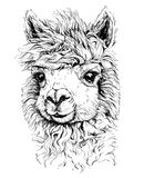 Schizzo realistico di LAMA Alpaca, disegno in bianco e nero, isolato su bianco Immagini Stock Libere da Diritti