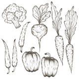 schizzo stabilito dell'icona disegnata a mano delle verdure nelle linee nere Fotografia Stock