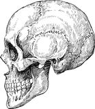 Schizzo umano del cranio Fotografie Stock