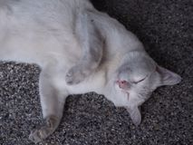 Schläfrige weiße Katze lizenzfreies stockbild