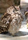 Schläfrige Afrika beschmutzte Adler-Eule Lizenzfreies Stockfoto
