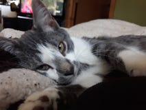 Schläfrige felix Katze schmiegt sich an stockfotografie