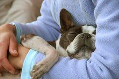 Schläfrige französische Bulldogge Lizenzfreie Stockfotos
