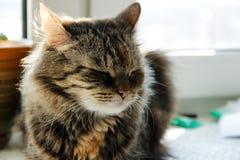 Schläfrige graue Katze, die auf Fenster sitzt stockbilder