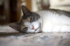 Schläfrige Haustierkatze, die auf Teppich liegt Stockbilder