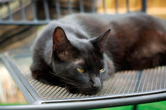 Schläfrige Havana Brown Cat, die auf Stuhl stillsteht Lizenzfreie Stockfotografie