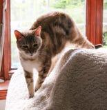 Schläfrige herrliche Bengal-Katze nannte Rahzi, das weg von seiner sonnigen Stelle sich bewegt lizenzfreie stockfotos