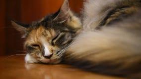 Schläfrige Katze stock footage