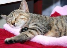 Schläfrige Katze des Tigers Stockbild