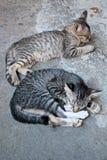 Schläfrige Katzen Stockbild