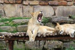 Schläfrige Löwen Lizenzfreie Stockfotos